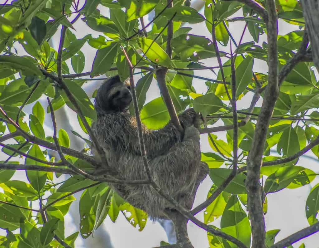 sloths are common backpacking costa rica