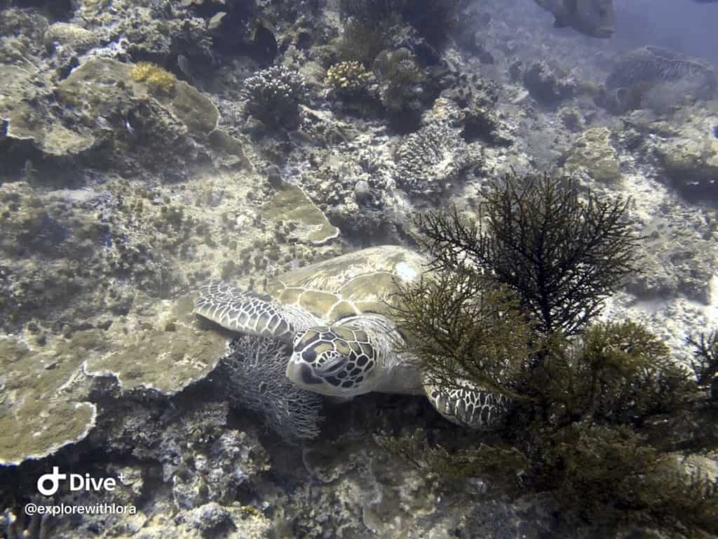 sea turtles diving at Sipadan