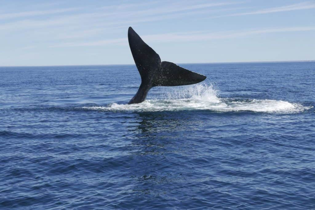 Whale Watching on the Valdes Peninsula in Argentina