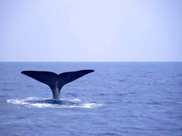 Whale Watching in the Ligurian Sea
