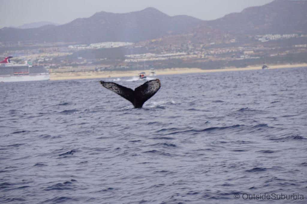 Whale Watching in Cabo, Mexico