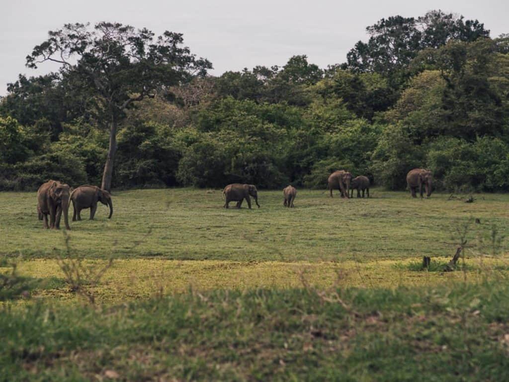 Elephants at Kataragama, Sri Lanka