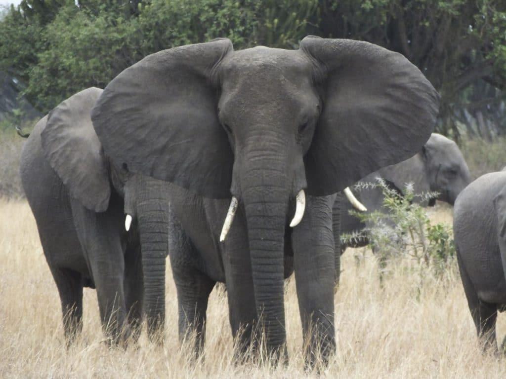 Elephant Encounter in Queen's National Park, Uganda