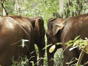 Elephants at Elephant Valley Project, Cambodia