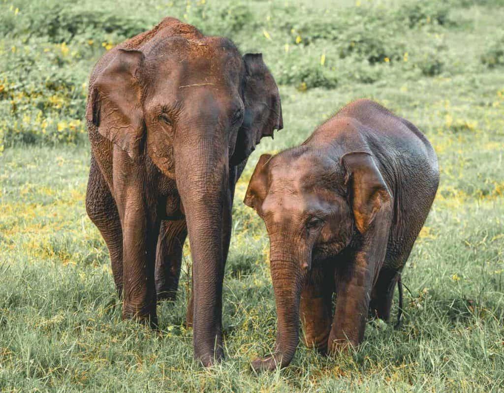 Elephants in Kadulla National Park, Sri Lanka