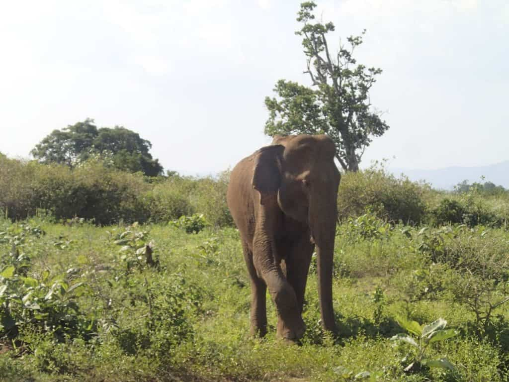 Elephant in Udawalawe National Park, Sri Lanka