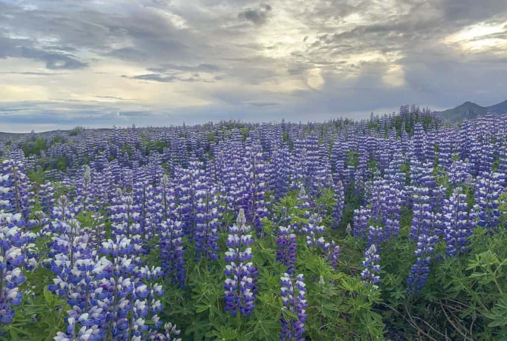 Lupins Blooming in Iceland