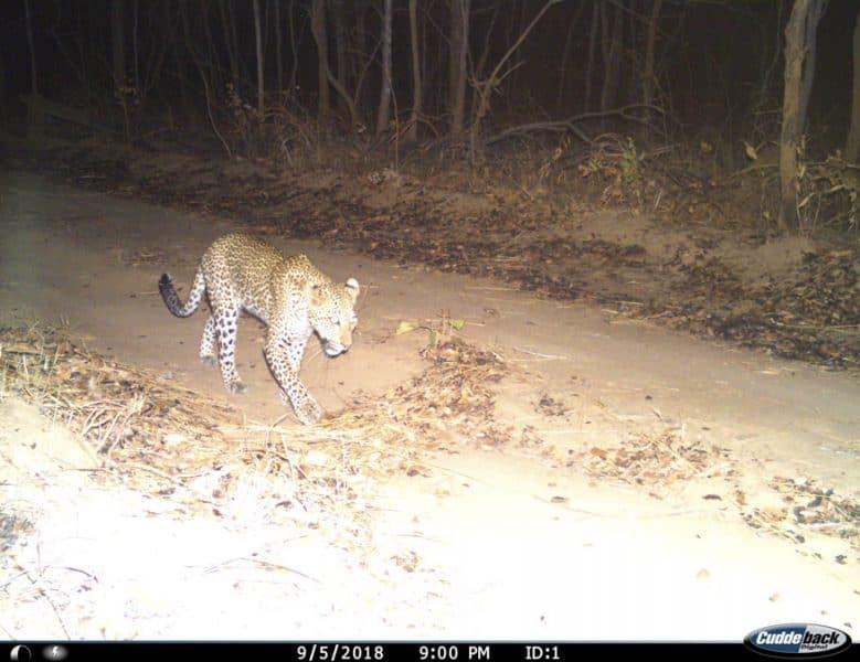 leopard on a camera trap