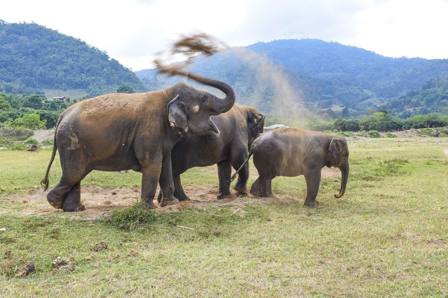 elephants at elephant nature park in thailand