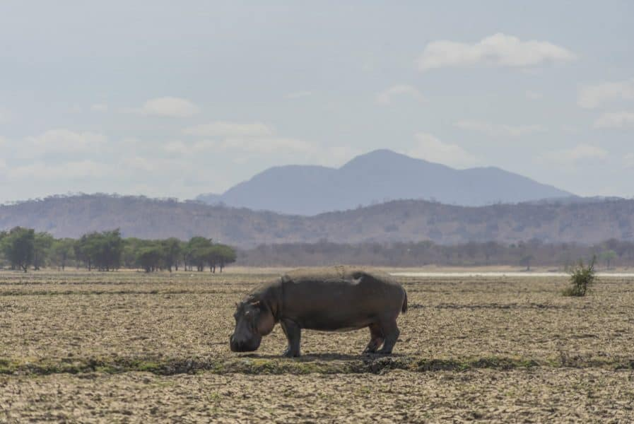 A hippo grazing during the day
