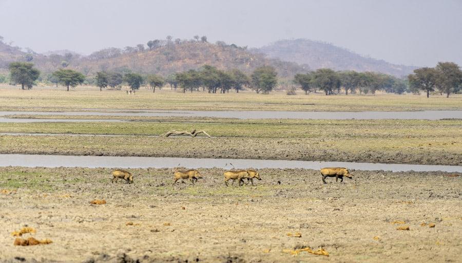 warthogs in malawi
