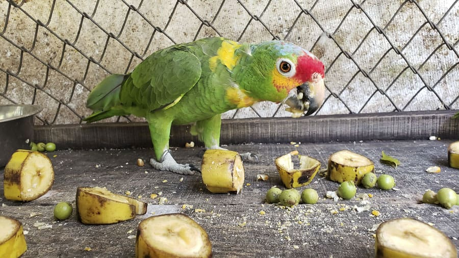 volunteer with bird and other wildlife at ARCAS guatemala