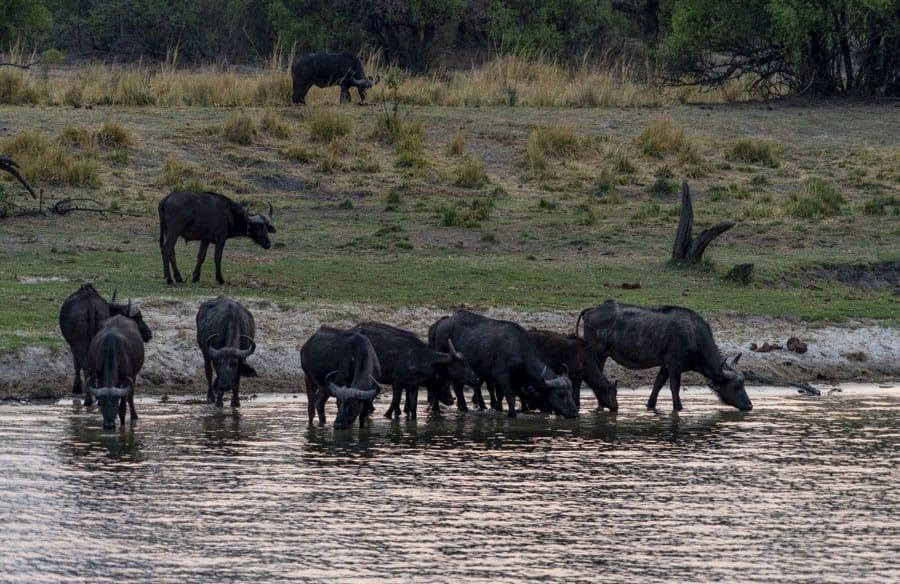 buffalo on a sunset cruise in victoria falls