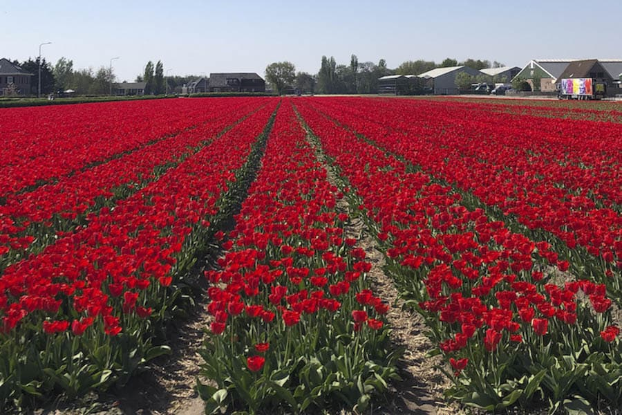amsterdam is one of the best places to visit in april 2020 for the tulips