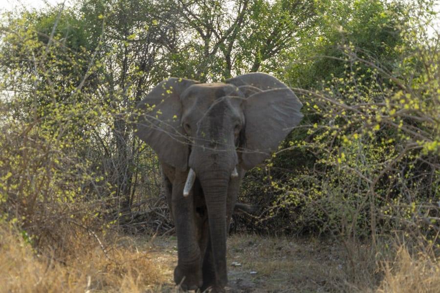 elephants outside my south luangwa national park lodges