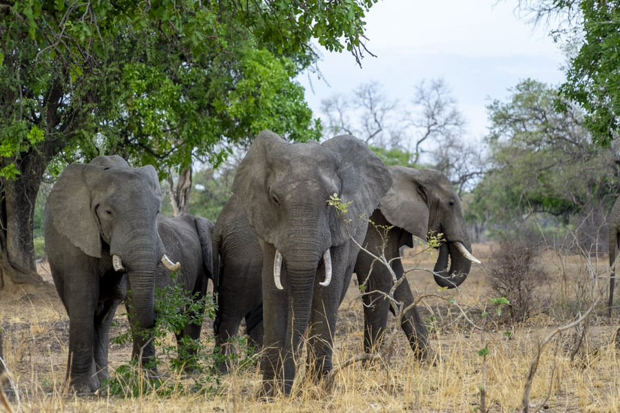 Herd of elephants at South Luangwa National Park in Zambia