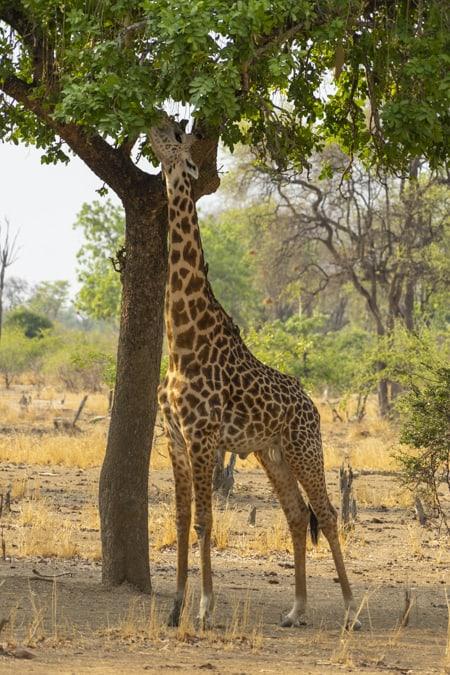 a giraffe eating