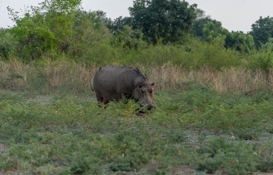 hippo grazing on grass