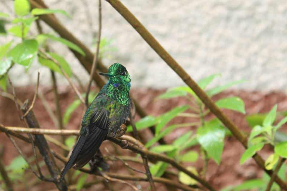hummingbird in monteverde costa rica