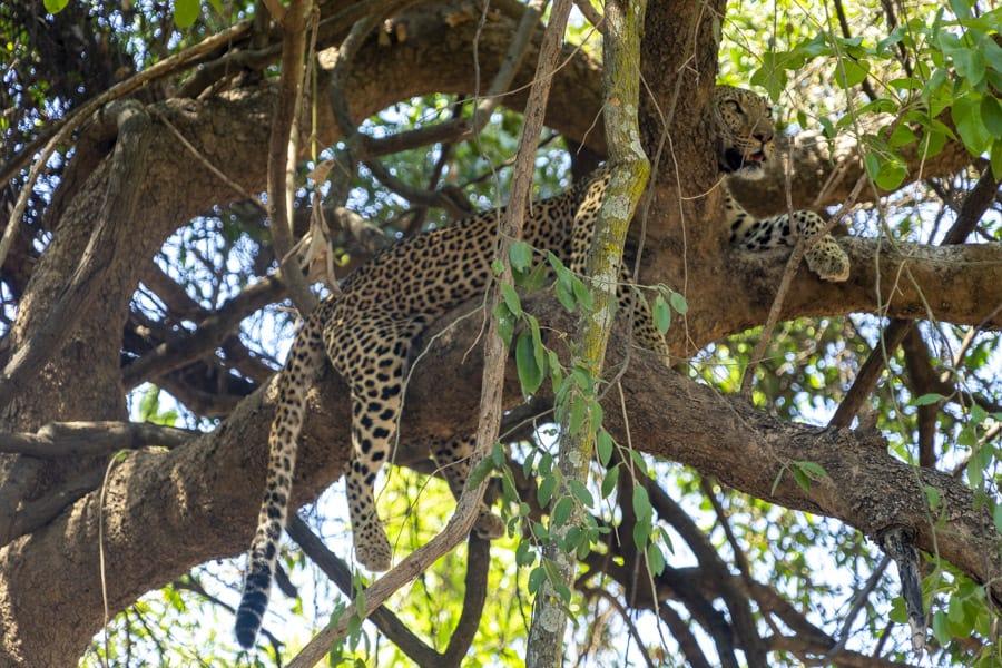 leopard in tree in south luangwa national park zambia