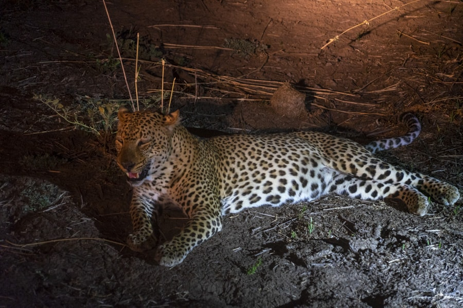 Leopard at South Luangwa National Park