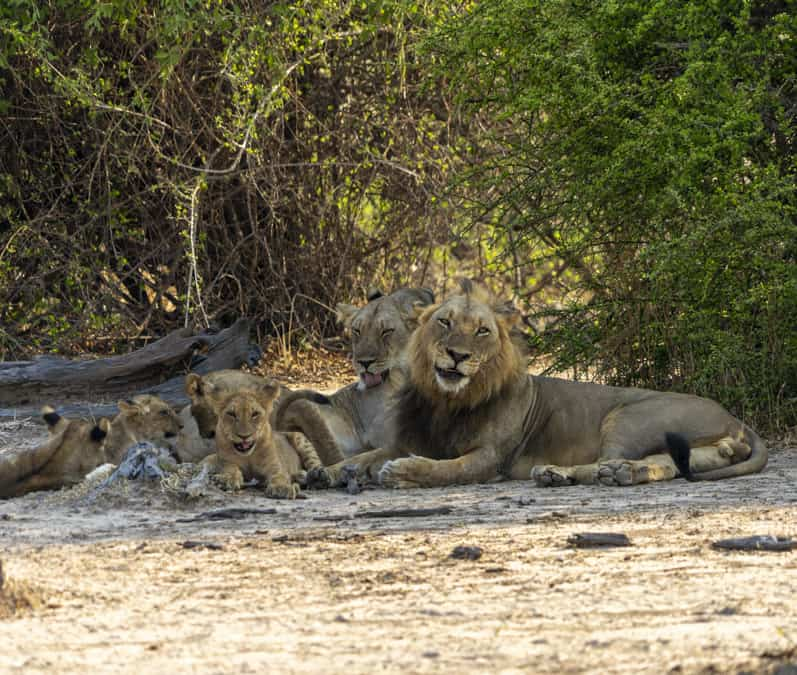 family of lions in South Luangwa