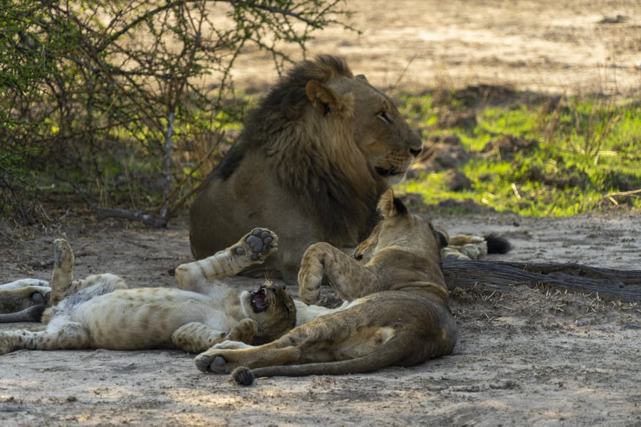 lions at south luangwa national park ethical safari in africa