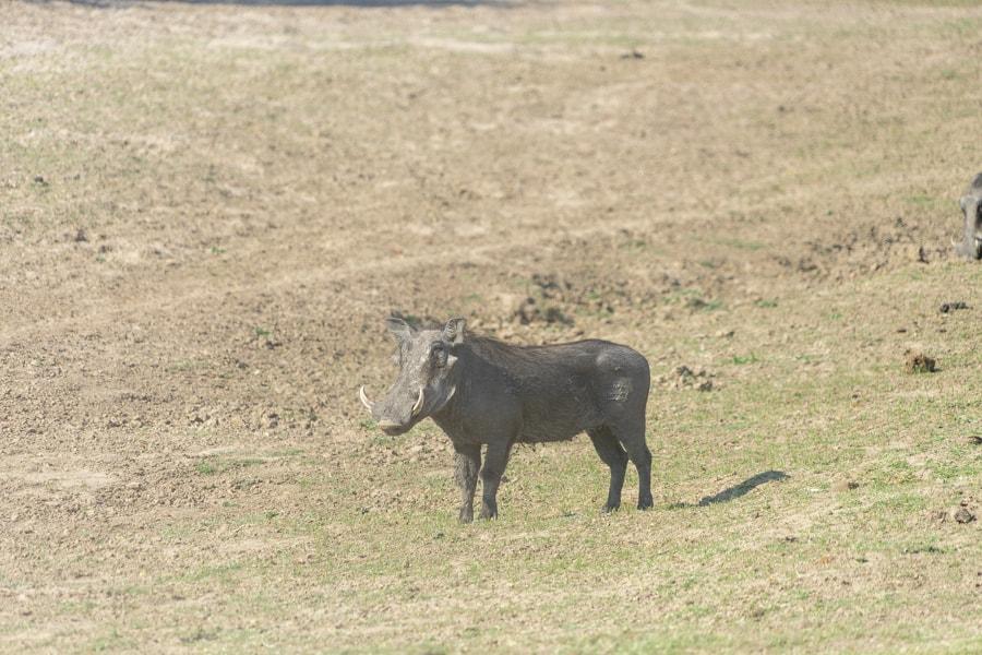 warthog in zambia