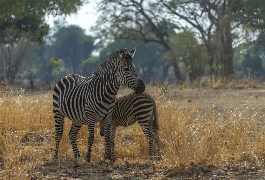 Zebras in South Luangwa, Zambia