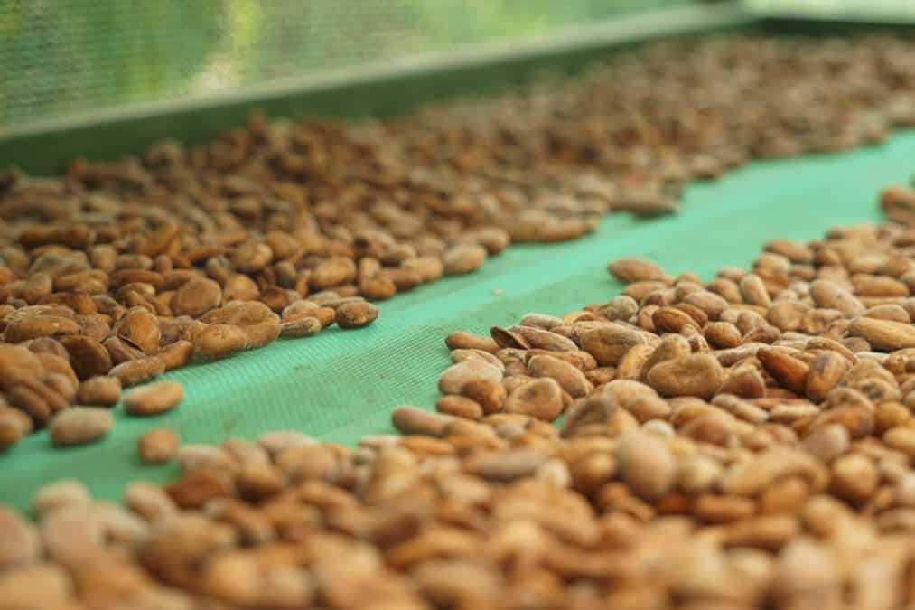 cacao seeds fermenting
