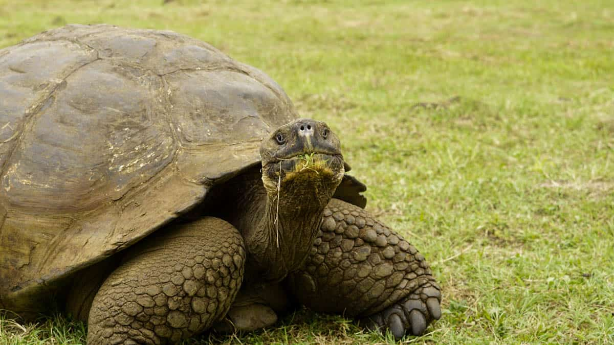 giant tortoise on the galapagos island