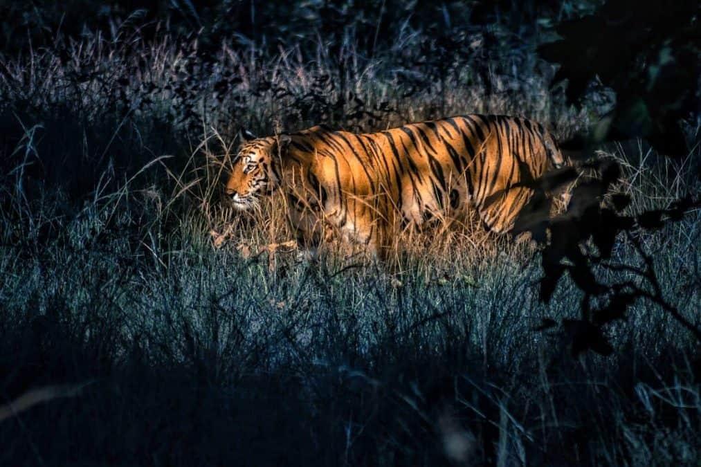royal bengal tiger in panna national park