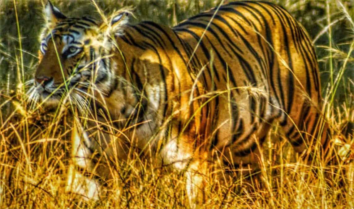royal bengal tiger in Ranthmbore national park