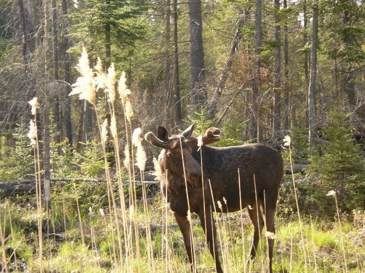 moose on the road to the beaches