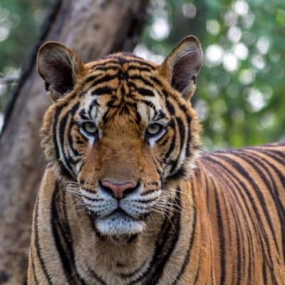 Best Places to See Tigers in the Wild Ethically