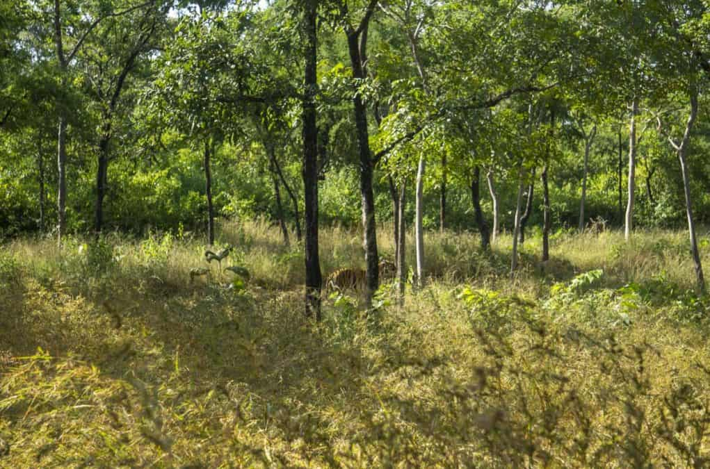 tiger in panna national park