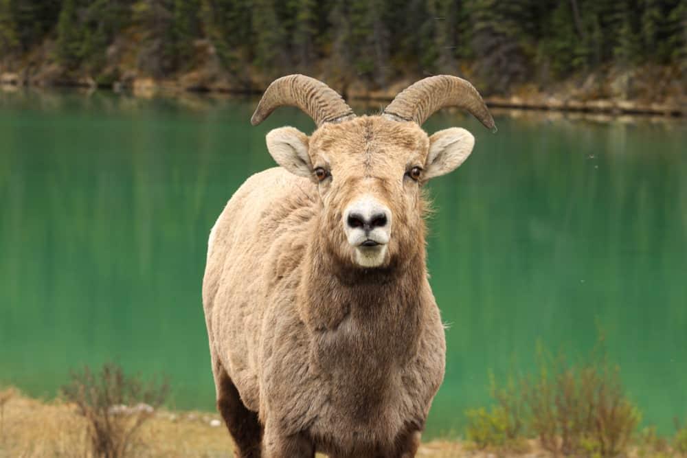 Bighorn Sheep, Alberta