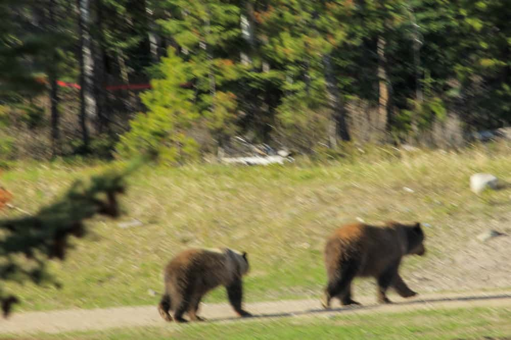 Grizzlys in Jasper