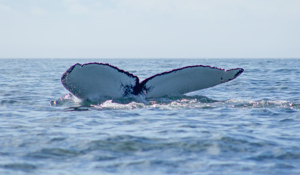whale newfoundland