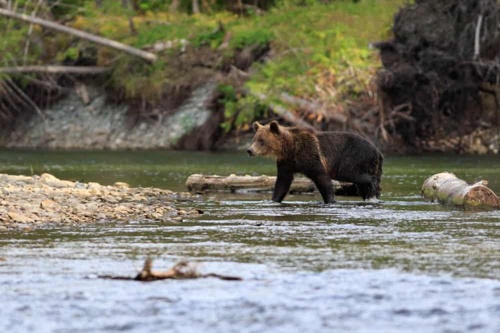 bear safari british colombia canada bucket list adventures