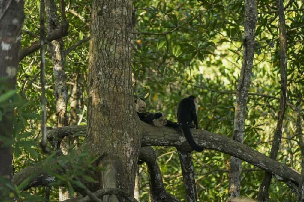 monkeys in corcovado national park