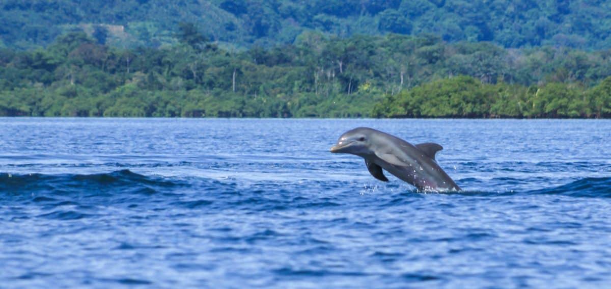 dolphins bocas del toro