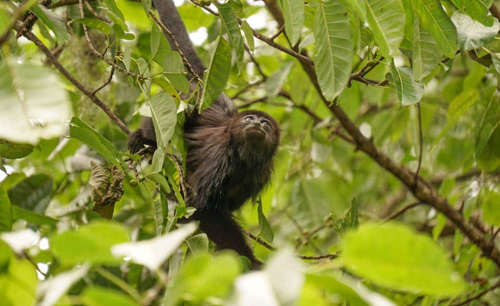 howler monkey rio dulce
