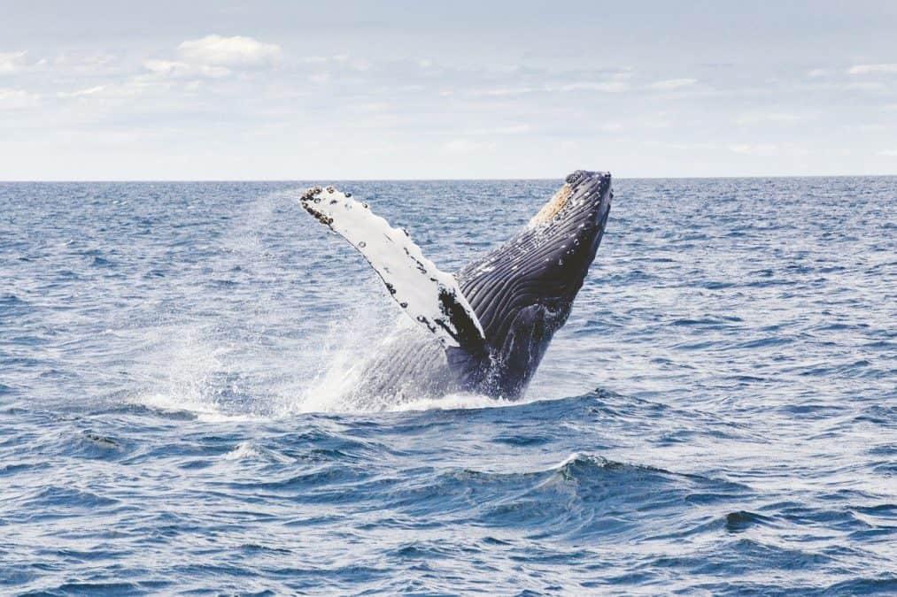 humpback whales uvita