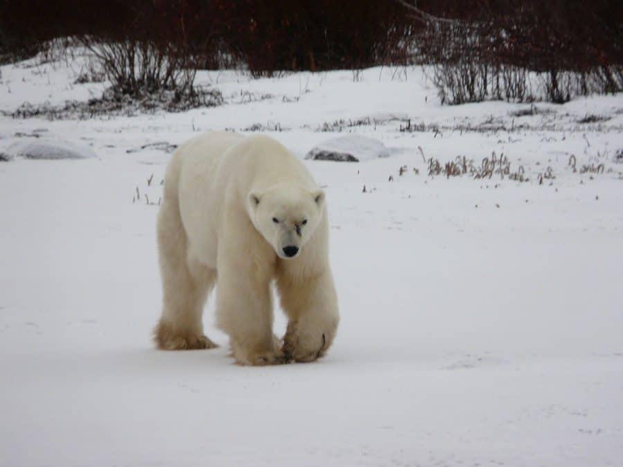 polar bear churchill manitoba canada bucket list
