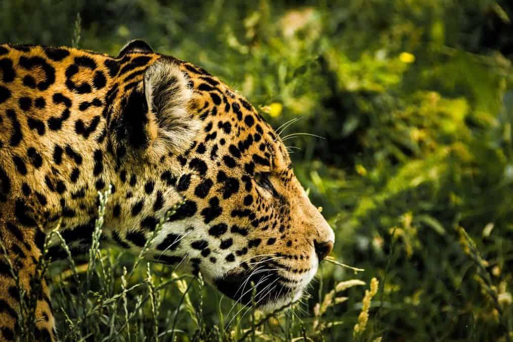 jaguar in costa rica