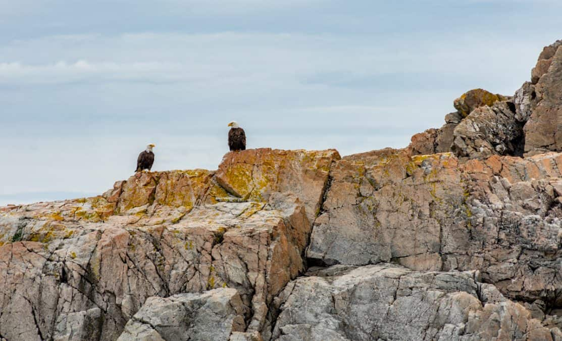 eagles in twillingate
