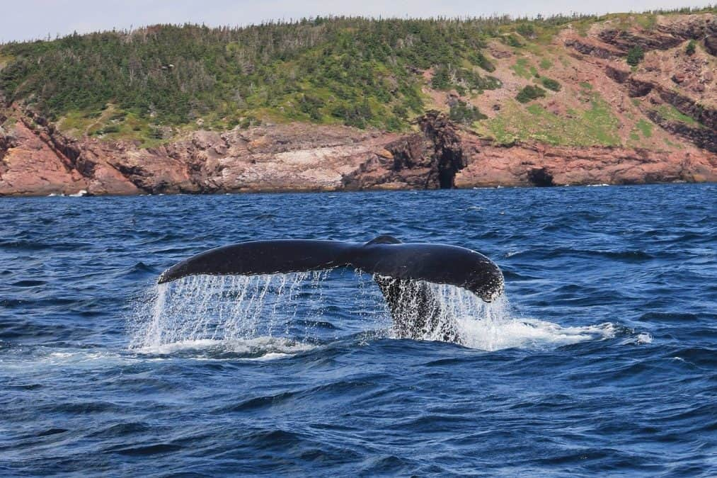 whales in newfoundland along the irish loop