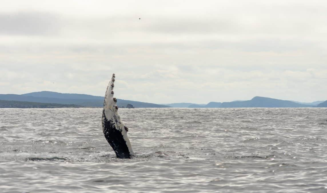 whale tail in newfoundland