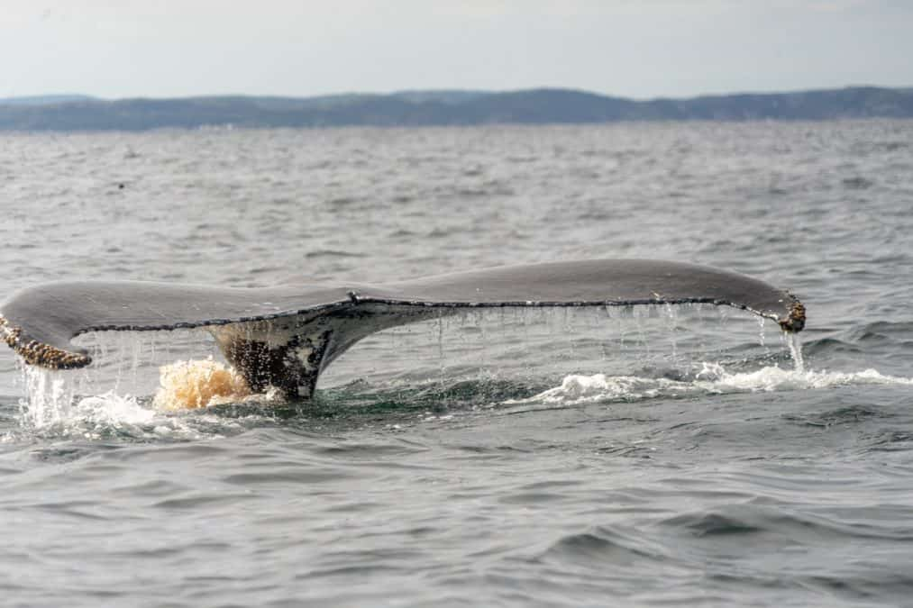 whale watching tours newfoundland